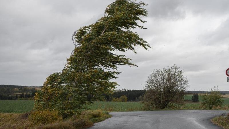 eine-birke-biegt-sich-im-wind-foto-daniel-vogldpa