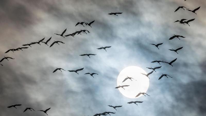 kraniche-fliegen-in-den-suden-foto-frank-rumpenhorstdpa