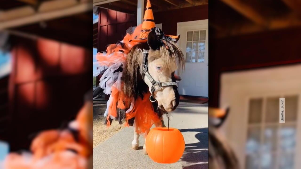 miniatur-pferd-ist-bereit-die-sueste-halloween-verkleidung