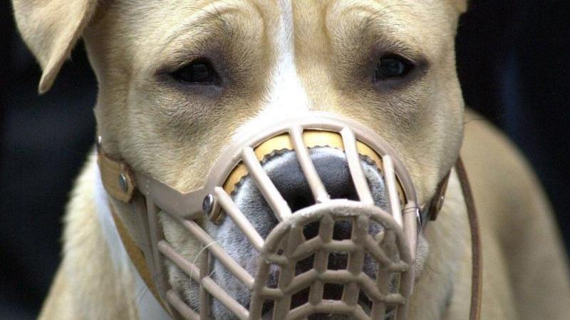 die-siebenjahrige-ilvy-wurde-von-einem-american-staffordshire-terrier-angegriffen