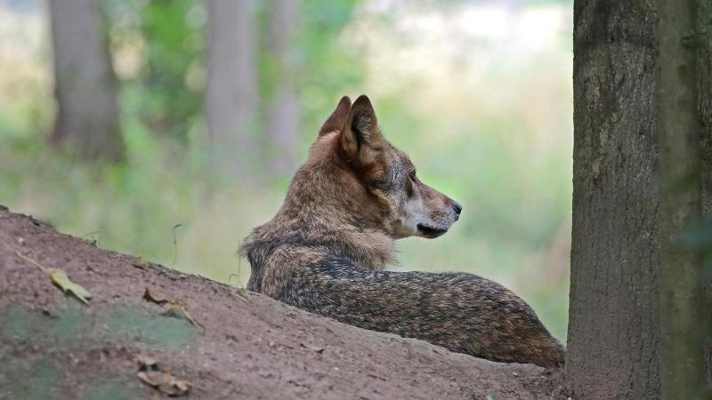 ein-wolf-sitzt-in-einem-gehege-foto-oliver-bergdpasymbolbild