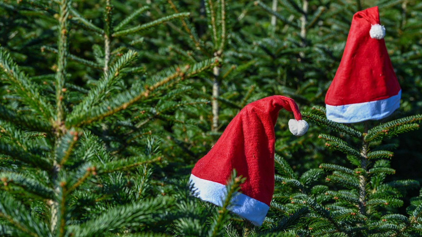 erste-markische-weihnachtsbaume-werden-fur-das-kommende-weihnachtsfest-schon-geschlagen