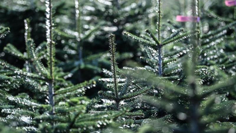 nordmanntannen-stehen-auf-der-weihnachtsbaum-plantage-des-werderaner-tannenhofs-foto-britta-pedersendpa-zentralbilddpa