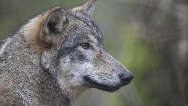 der-wolf-einige-exemplare-sind-auch-in-hessen-wieder-heimisch-foto-boris-roesslerdpaarchivbild
