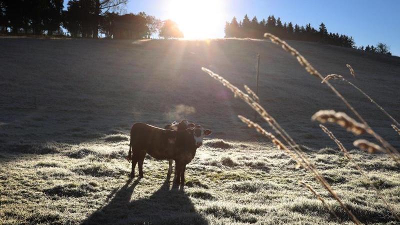 kuhe-stehen-auf-einer-mit-raureif-bedeckten-weide-im-sonnenschein-foto-karl-josef-hildenbranddpaarchivbild