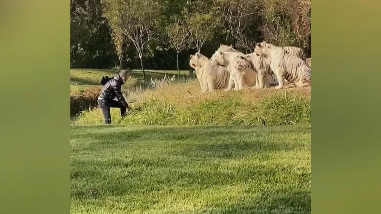 video-zeigt-gefahrliche-aktion-tourist-springt-in-tiger-gehege