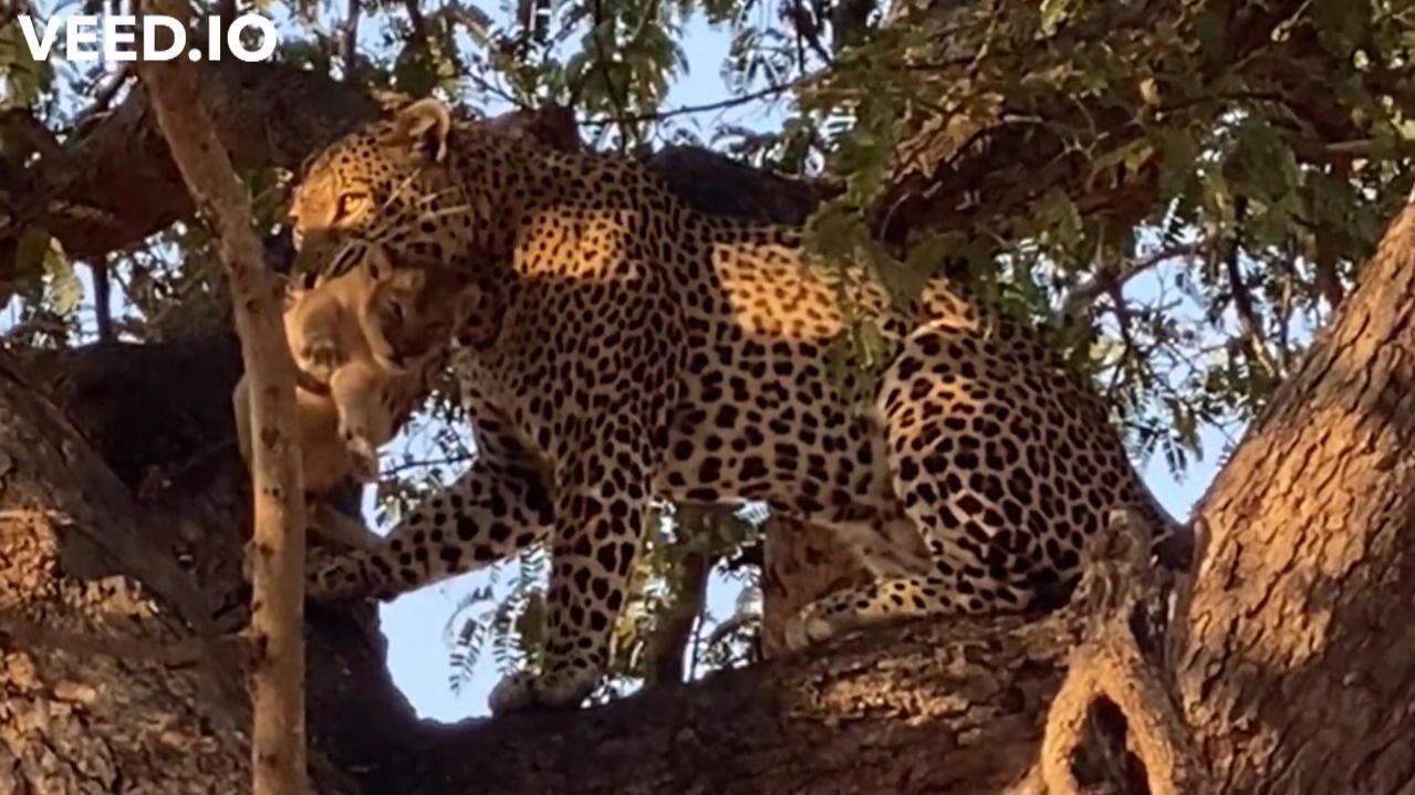 danach-frisst-er-es-auf-leopard-entreit-lowenmama-das-baby