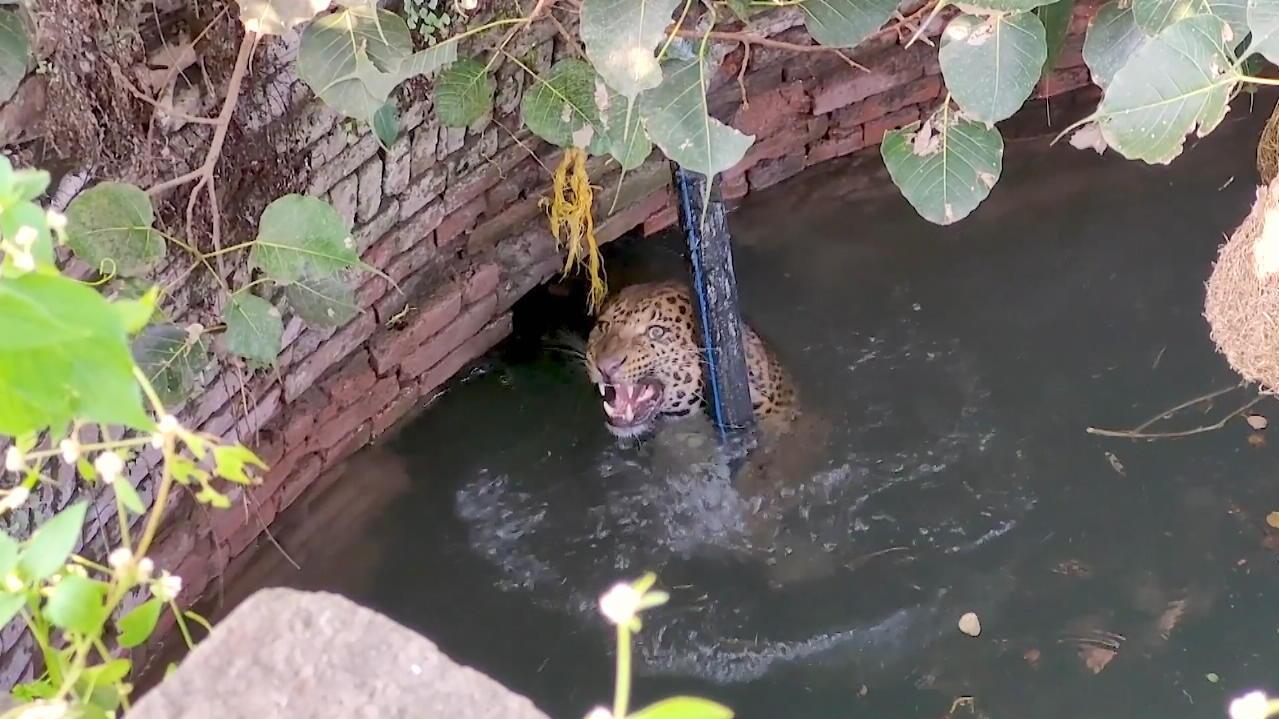 raubkatze-kampft-ums-uberleben-rettungsaktion-fur-leopard-im-brunnen