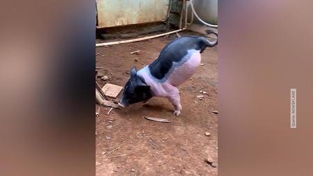 video-aus-maoming-china-schwein-lauft-auf-zwei-beinen