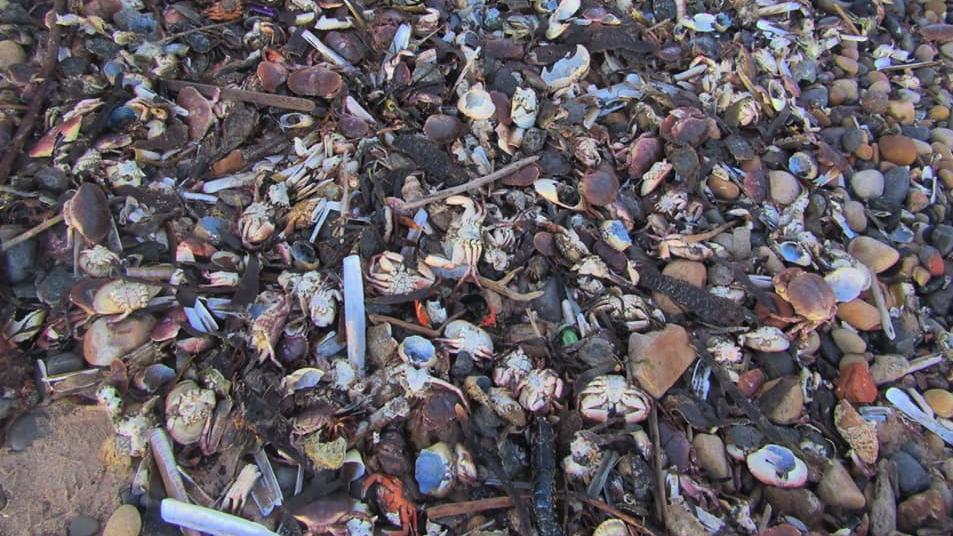 """Mysteriöses Massensterben - Tote Meerestiere türmen sich """"hüfthoch"""" am Strand"""
