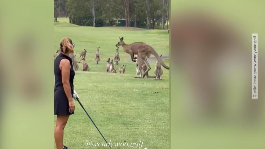 achtung-tierische-storung-dutzende-kangurus-sturmen-golfplatz