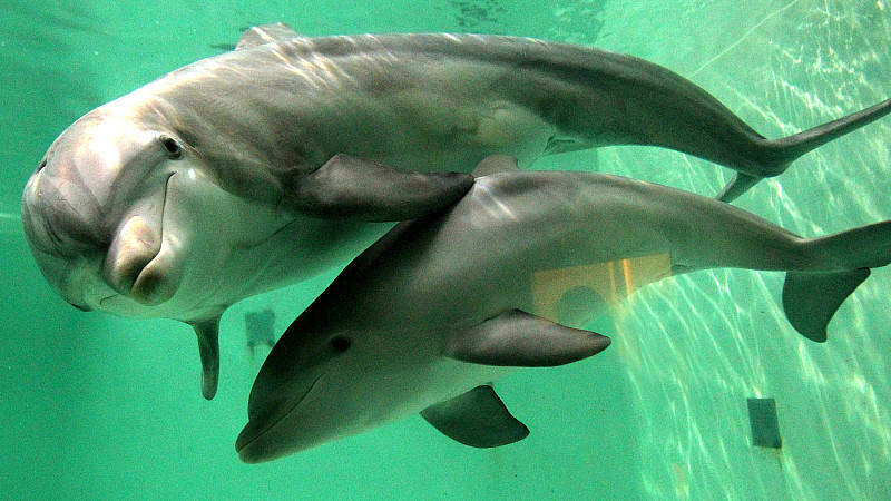 Symbolbild: Delfin-Mutter mit Nachwuchs im Duisburger Zoo.