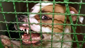 Dieser Pitbull ist ein sogenannter Listenhund - aber nicht nur Kampfhunde stellen Tierheime vor große Probleme.