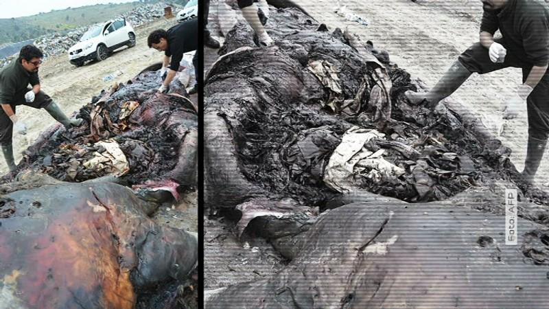Wal am Strand mit Plastik im Magen