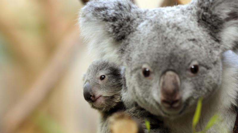Vor allem Koalas sind durch den Klimawandel gefährdet. Waldbrände bedrohen ihren Lebensraum, Trockenheit zwingt sie ihre Bäume zu verlassen und der Nährstoffgehalt in Eukalyptusblättern nimmt immer weiter ab.