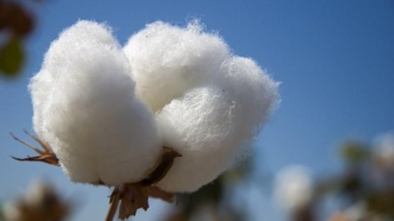 Baumwolle wird aus den Pflanzenfasern der Baumwollpflanze hergestellt.