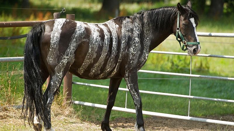 Viele Reiter bemalen ihre Lieblinge neuerdings mit einem Zebrastreifenmuster, um lästige Bremsen und Stechfliegen von ihnen fernzuhalten.