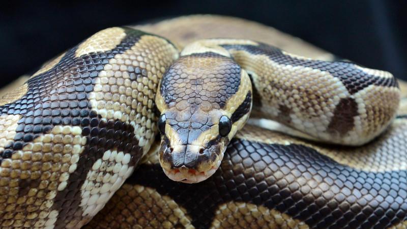 Handlicher Python (Symbolbild)