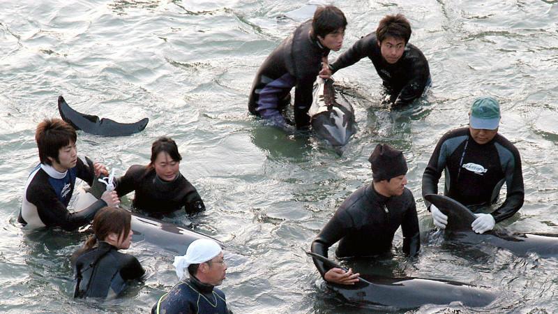 Delfin-Trainer selektieren in der Walfang-Stadt Taiji die Delfine, die bei der Treibjagd gefangen wurden, für Aquarien.