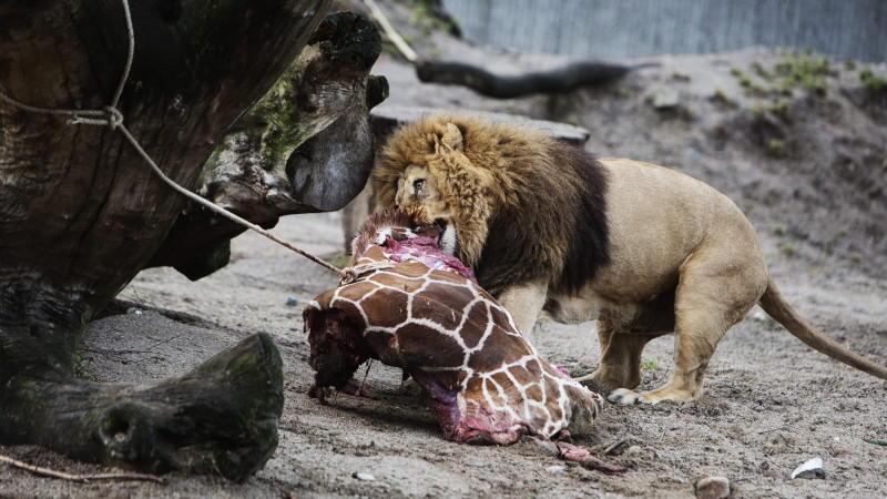 Nachdem im Februar die Giraffe Marius getötet und ihr Fleisch teilweise an Raubtiere verfüttert worden war, wurden nun vier Löwen getötet.