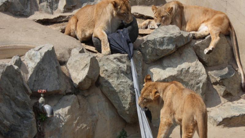 Das Anfangsgebot dieser Löwen-Jeans liegt bei 492 Dollar.