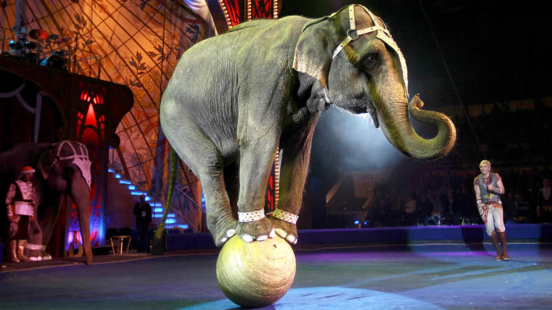 Elefant macht Sachen: Ganz schlimm - sagen Tierschützer. Ihm geht's gut - die Zirkusleute
