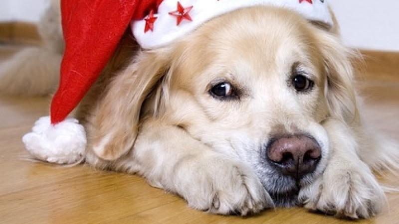 Auch wenn die Hundeaugen noch so groß sind, verzichten Sie besser darauf die Weihnachtsleckereien mit ihm zu teilen.