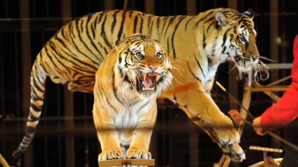 Tiger fielen in einem italienischen Zirkus über einen Dompteur her (Symbolbild).