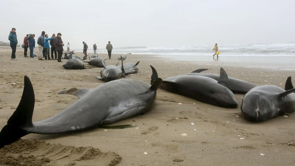 Fukushima Japan Großes Delfinsterben