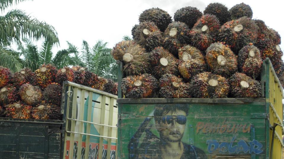 Obwohl große Regenwaldflächen Palmöl-Plantagen weichen müssen, spricht sich Greenpeace gegen einen Boykott des Öls aus.