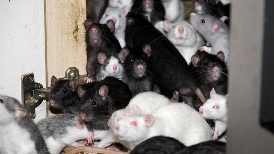 Tierschützer fanden 300 Ratten in einer Wohnung im bayrischen Bad Aibling.