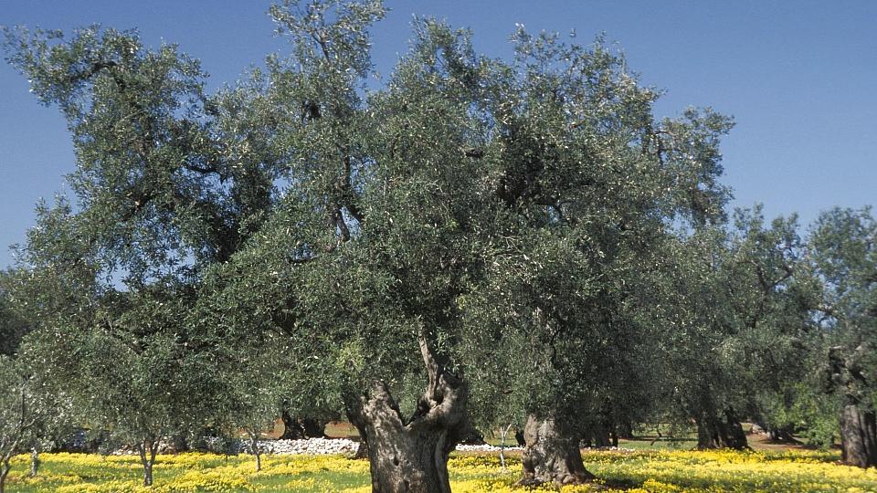 Feuerbakterium killt eine Million Olivenbäume – hat Italiens Regierung gepennt?