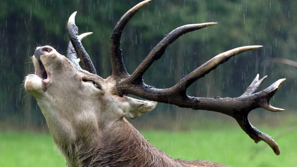 """ARCHIV - Bei strömendem Regen röhrt ein Rothirsch im Tal der Hirsche im Wildpark Eekholt bei Großenaspe im Segeberger Forst (Archivbild vom 09.09.2005). Für Autofahrer bedeutet diese so genannte Brunft eine gefährliche Zeit, denn die """"Liebe"""" macht au"""