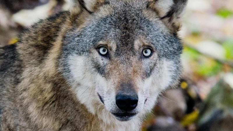 Tödliche Angriffe von Wölfen auf andere Tiere haben zugenommen. Foto: Julian Stratenschulte/Archiv