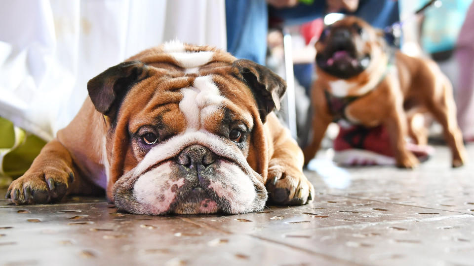 Die Englische Bulldogge ist nicht gerade ein helles Köpfchen. Welche Hunde noch zu den dümmsten Hunderassen zählen und welche zu den schlausten, erfahren Sie hier.