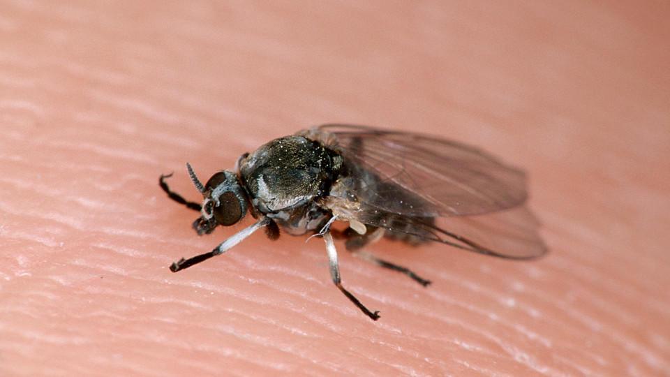 Die Kriebelmücke findet das Wetter in diesem Frühling prima.