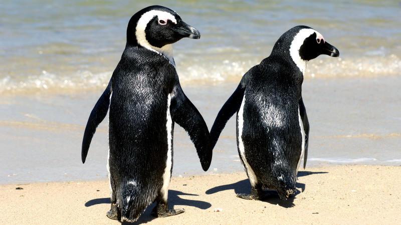 Afrikanische Pinguine am Strand von Boulders (Archivbild)