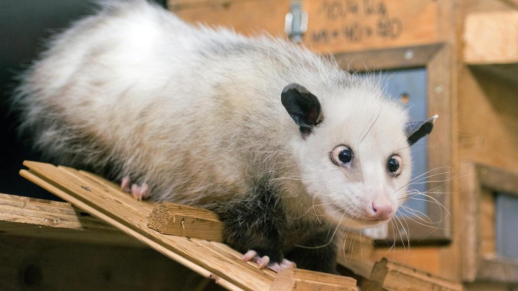 Opossum Heidi schaut in ALLE Richtungen...