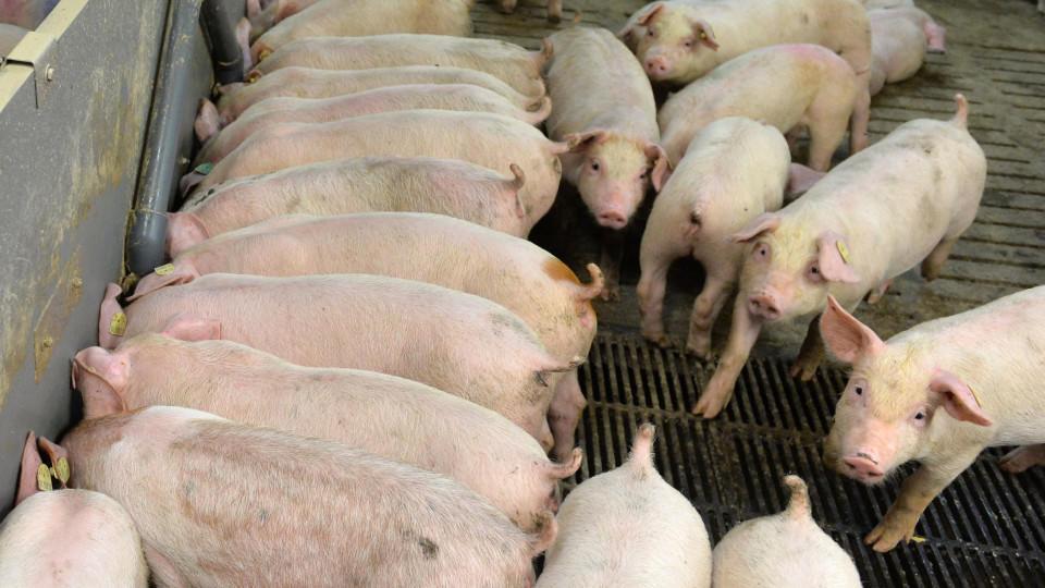 Ferkel stehen in Heberndorf (Thüringen) im Abferkelstall der Schweinemastanlage.
