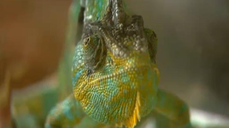reptilienarzt karbe chamleon