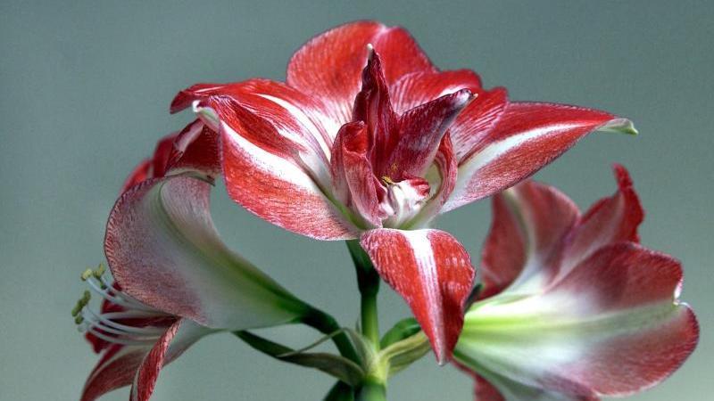 Amaryllis-Blüte