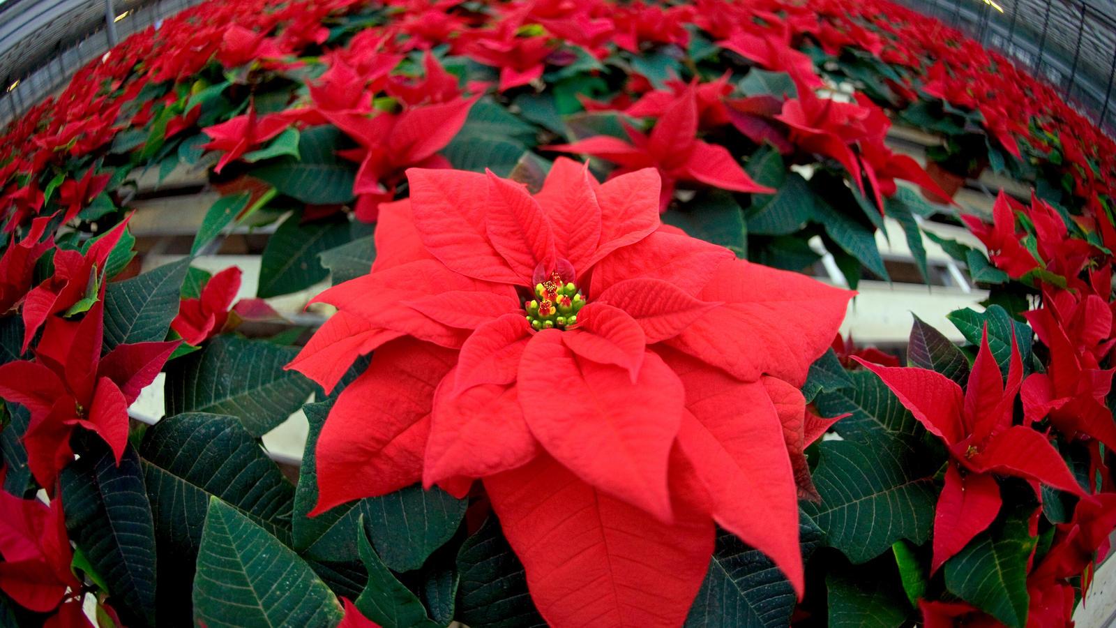 In der Adventszeit kommen die Weihnachtssterne. Damit sie nicht so schnell wieder gehen, sind nur wenige Pflegetipps zu beachten.