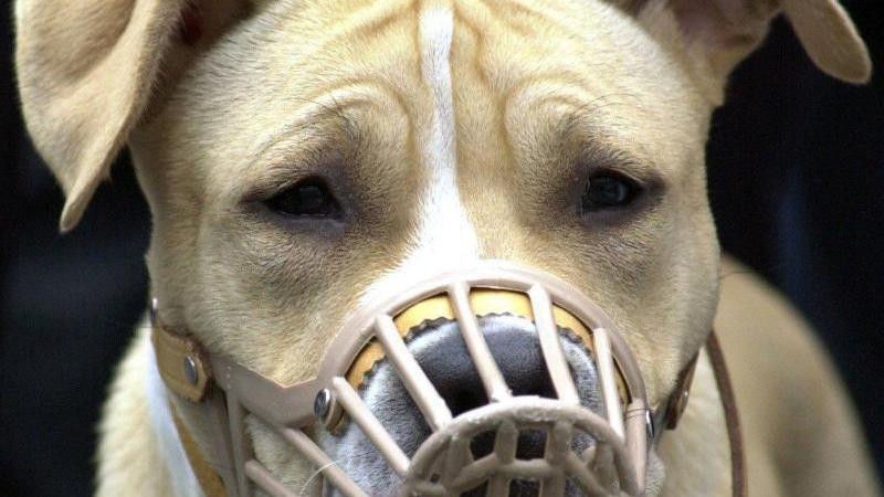 American-Staffordshire-Terrier mit Maulkorb (Symbolfoto).