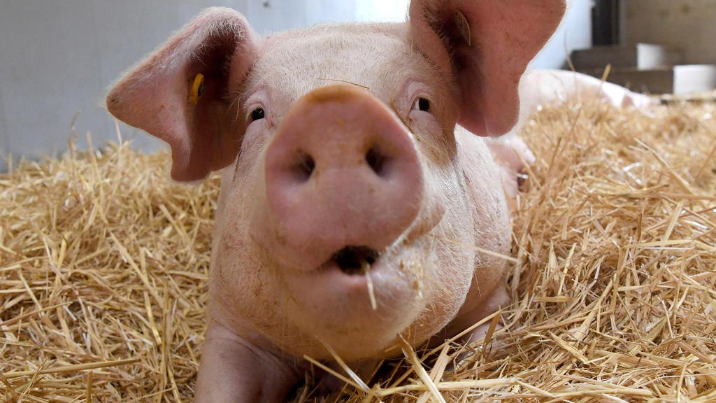 ARCHIV - Ein Schwein liegt am 17.06.2016 in einem Schweinestall der Versuchsstation Agrarwissenschaften der Universität Hohenheim in Eningen unter Achalm (Baden-Württemberg) auf Stroh. (zu dpa «Was bringt das staatliche Tierwohl-Label?» vom 19.01.201