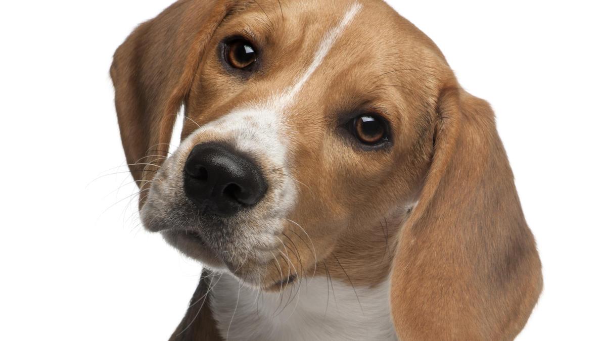Mit Hilfe seines Geruchssinns erkennt ein trainierter Hund Gebärmutterhalskrebs anhand von Damenbinden.