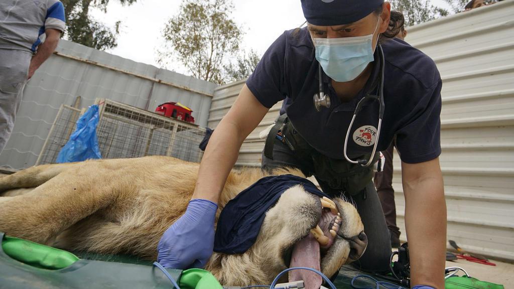 Ein Mitarbeiter der Tierschutzorganisation 'Vier Pfoten' untersuchte den  letzten überlebenden Löwen des  Zoos Montazah Al-Morour  in Mossul (Irak).