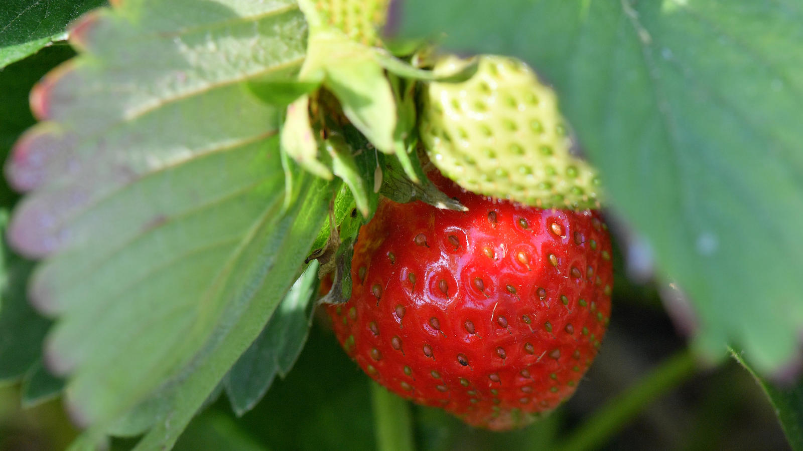 Das ständig nasse Wetter macht den Erdbeerbauern einen Strich durch die Rechnung.