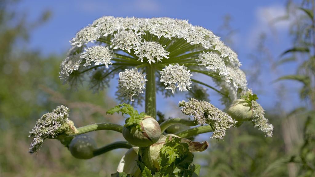 Riesen-Baerenklau (Heracleum mantegazzianum, Syn.: Heracleum giganteum), auch Herkulesstaude oder Herkuleskraut, Bayern, Deutschland | Verwendung weltweit
