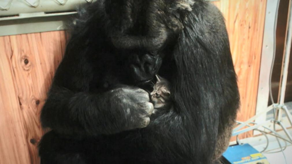 gorilla-mama-mit-herz-koko-kummert-sich-um-katzenbabys