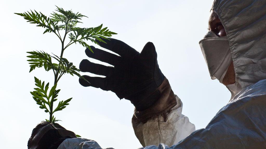 ARCHIV  - Mit Schutzanzug, Handschuhen und Feinstaubmaske ausgerüstet beseitigt ein Mann im Forstrevier Dammendorf (Landkreis Oder-Spree) Beifuß-Ambrosiapflanzen, aufgenommen am 27.08.2009. Die Ambrosia ist in Deutschland alles andere als beliebt: Al
